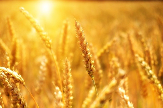 zboże, rolnictwo, praca